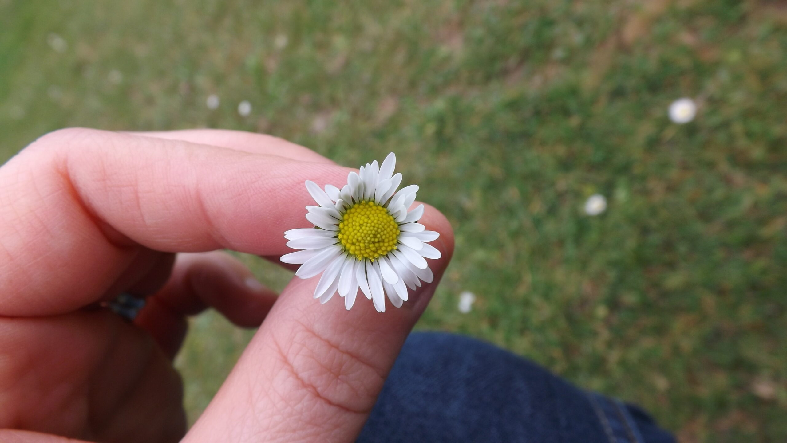 Daisy in spring being held