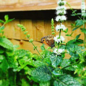 Butterflies on my mint plant